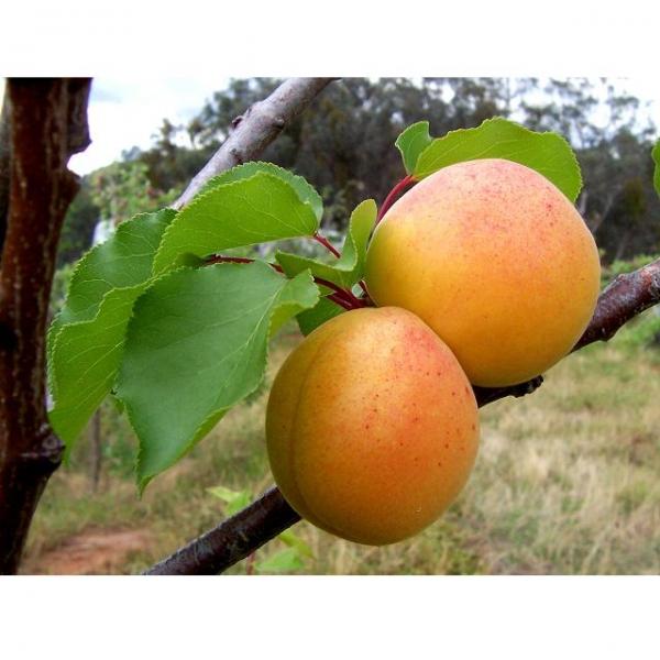 Купить Саженцы плодовых деревьев