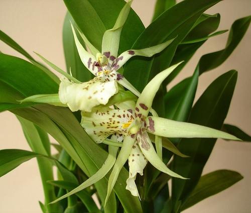 Купить Цветущие комнатные растения