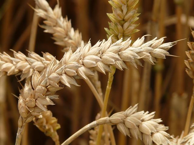 Купить Семена яровой пшеницы