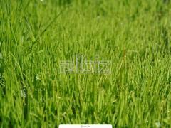 Травы газонные в рулонах и секциях