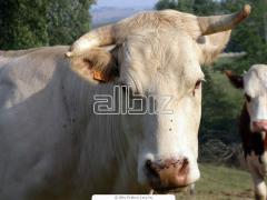Cattle large horned breeding (KRS)