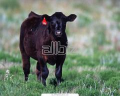 Pedigree bull