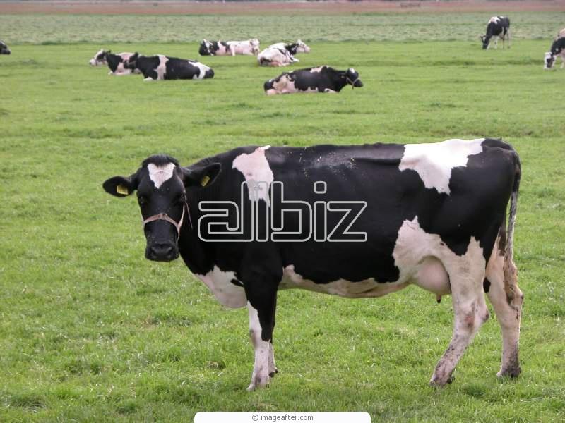 Заказать Разведение крупного рогатого скота в Эстонии