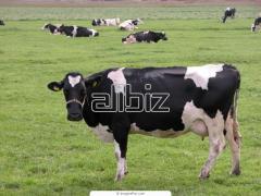Разведение крупного рогатого скота в Эстонии