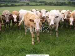 Создание высокопродуктивных племенных стад